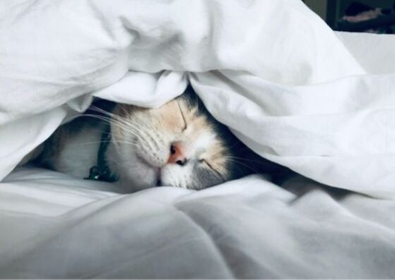 Cat in bed snuggled under white comforter